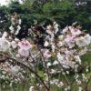 ここにしか咲かない珍しい桜:クメノサクラ   (久米桜)学名:Cerasus jamasakura var