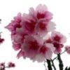 日本一早い桜 カンヒザクラ(寒緋桜)学名: Cerasus campanulata (Maxim.) Masam. &