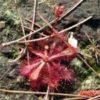 3月に名護岳で撮ったコモウセンゴケ