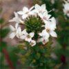 ハマボッス(浜払子)学名:Lysimachia mauritiana