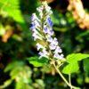 アカボシタツナミソウ(赤星立浪草)学名: Scutellaria rubropunctata Hayata
