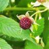 リュウキュウバライチゴ 琉球薔薇苺 Rubus croceacanthus