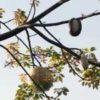 トックリキワタ(徳利木綿) 学名:Ceiba speciosa