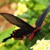 ベニモンアゲハ(紅門揚翅)学名:Pachiliopta aristolochiae
