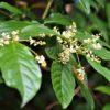 シマイズセンリョウ  (島伊豆千両)  学名:Maesa perlarius var. formosana