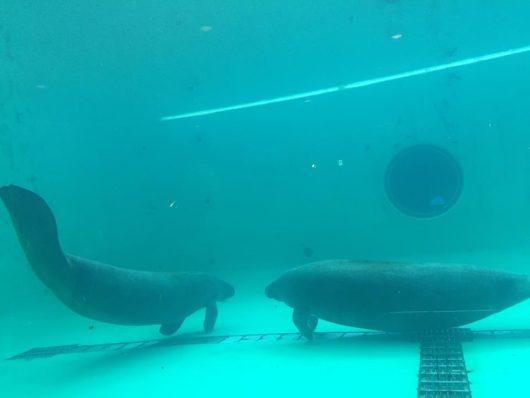 沖縄美ら海水族館 アメリカマナティ