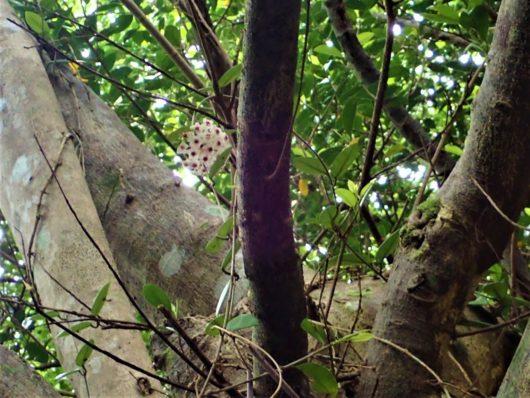 サクララン (桜蘭)  学名:Hoya Carnosa