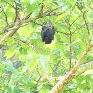 オリイオオコウモリ 大蝙蝠(フルーツバット)学名: Megachiroptera