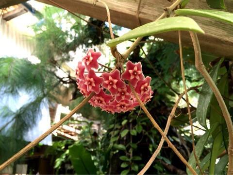 サクララン(桜蘭) 学名:Hoya Carnosa