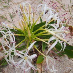 ハマユウ (浜木綿)  学名:Crinum asiaticum L.