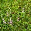 ナンゴクネジハナ(南国捩花)学名:Spiranthes sinensis var. sinensis
