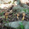キイレツチトリモチ (喜入土鳥黐) 学名:Balanophora tobiracola