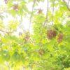 アカギ ( 赤木) 学名:Bischofia javanica