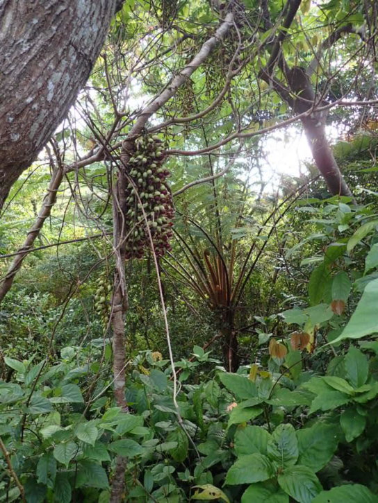 森のシャンデリア イルカンダ ウジルカンダ Mucuna macrocarpa