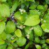 ツルソバ (蔓蕎麦)学名:Persicaria chinensis (L.) H.Gross