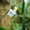 アリモリソウ  (有盛草)   学名:Codonacanthus pauciflorus
