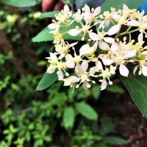 リュウキュウコンテリギ(琉球紺照木)学名:Hydrangea liukiuensis