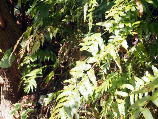 コノハチョウ 木の葉蝶Kallima inachus eucerca