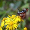 リュウキュウツワブキ(琉球艶蕗) 学名:Farfugium luchuense とアサギマダラ