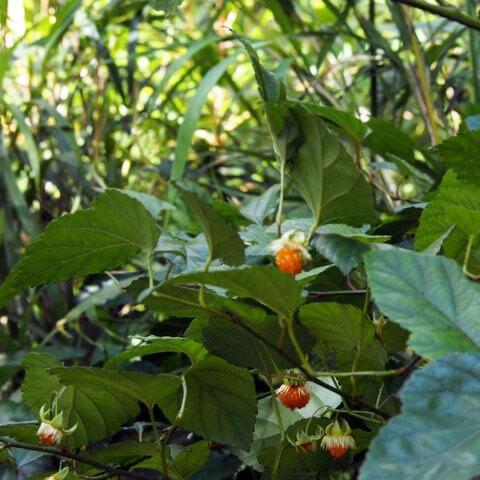 リュウキュウイチゴ 琉球苺 Rubus grayanus