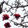 嵐を呼ぶデイゴの花(梯梧) 学名:Erythrina variegata