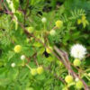 外来種☆ギンネム(銀合歓)学名:Leucaena leucocephala