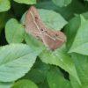 リュウキュウヒメジャノメ 琉球姫蛇目 Mycalesis madjicosa