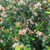 ホソバシャリンバイ (細葉車輪梅)  学名:Rhaphiolepis indica (L.) Lindl. ex Ker va