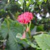 フウリンブッソウゲ (風鈴仏桑華)学名:Hibiscus schizopetalus