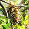 森のシャンデリア イルカンダ(ウジルカンダ) 学名:Mucuna macrocarpa