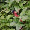 ベニツツバナ オキナワカラスアゲハ 沖縄烏揚羽 Papilio okinawensis チョウ目アゲハチョウ科アゲハチョウ属