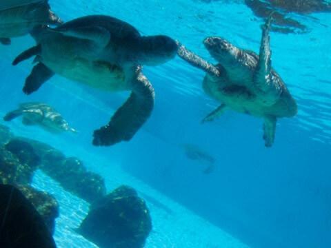 美ら海水族館 カメエリア
