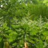 アカミズキ 赤水木Wendlandia formosana