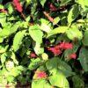 外来種☆ベニツツバナ (紅筒花)学名:Odontonema strictum
