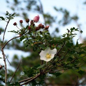 サキシマフヨウ(先島芙蓉)学名:Hibiscus makinoi