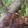 絞め殺しの木 幹に直接実がつく アコウ (赤榕) 学名:Ficus superba var. japonica