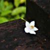 エゴノキ  学名:Styrax japonica