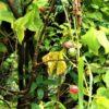 オキナワスズメウリ  (沖縄雀瓜)  学名:Diplocyclos palmatus (L.) C. Jeffrey