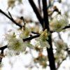 沖縄で梅見(梅)学名:Prunus mume(本部町伊豆味)