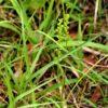 ニラバラン(韮葉蘭)学名:Microtis unifolia (Foorst.) Reichb. fil.