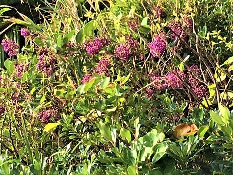 オオムラサキシキブ(大紫式部) 学名:Callicarpa japonica var. luxurians Rehd.
