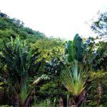 タビビトノキ(旅人の木)学名:Ravenala madagascariensis