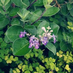 ミツバハマゴウ (三葉蔓莉) 学名:Vitex trifolia