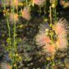 サガリバナ 舞花香 Barringtonia racemosa