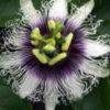 クダモノトケイソウ (果物時計草)Passiflora edulis パッションフルーツ