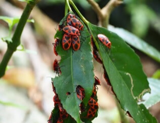 ベニツチカメムシ(紅土亀虫) 学名:Parastrachia japonensis (Scott)