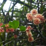 サツマサンキライ 雌花(薩摩山帰来)学名:Smilax bracteata Presl