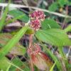 シマニシキソウ(島錦草)学名:Chamaesyce hirta (L.) Millsp.
