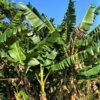 リュウキュウイトバショウ (琉球糸芭蕉)学名:Musa balbisiana var.liukiuensis