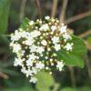 ハクサンボク (白山木) 学名:Viburnum japonicum